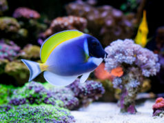 https://www.freepik.com/premium-photo/acanthurus-leucosternon-home-coral-reef-aquarium-selective-focus_3766136.htm