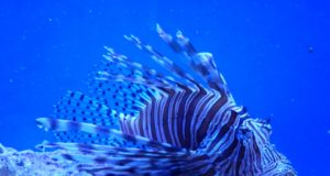 https://pixabay.com/photos/lionfish-key-largo-317305/