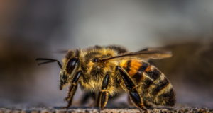 https://www.pexels.com/photo/honey-bee-on-wood-1035224/