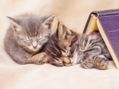 https://www.freepik.com/premium-photo/two-kittens-sleep-well-covered-with-book-break-teaching-sleep_9046906.htm#page=3&query=napping+cats&position=35