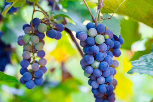 https://www.freepik.com/premium-photo/close-up-bunches-ripe-red-wine-grapes-vine-harvest_9517328.htm#page=1&query=napa%20valley%20wineries&position=12